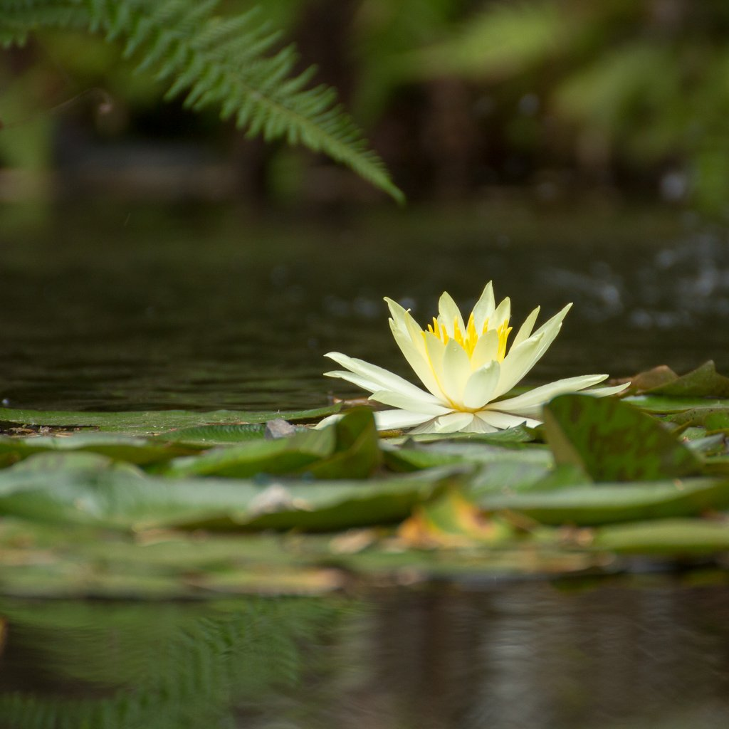 Yellow water Lilly in a pond